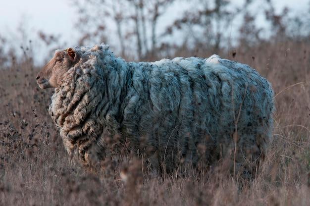Een schaap in een veld