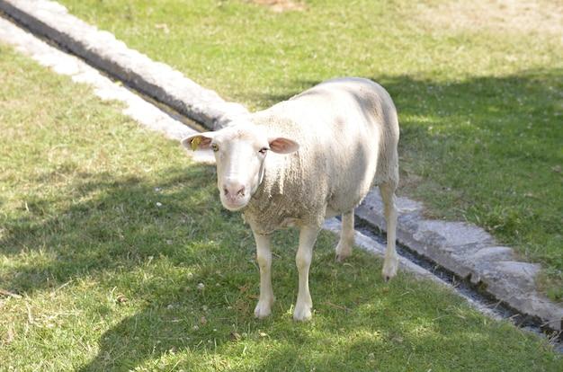 Een schaap in het gras