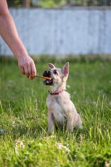 Een schattig beige puppy met grote oren reikt naar voedsel