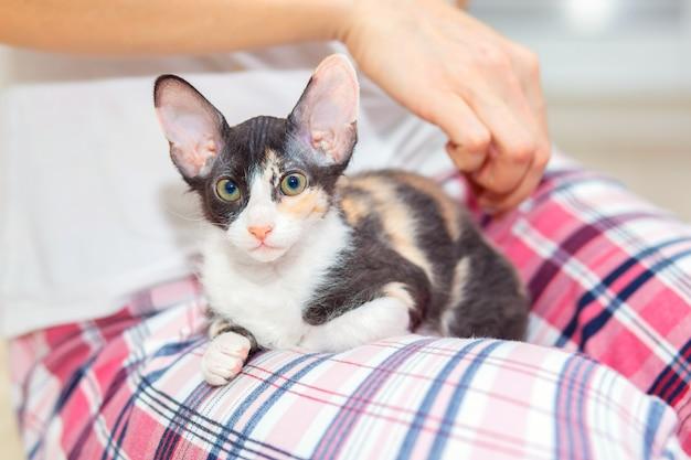 Een schattig driekleurig sphynx-katje met grote oren zit op de schoot van de eigenaar. de vrouw aait haar kat. het kitten klom op de handvatten