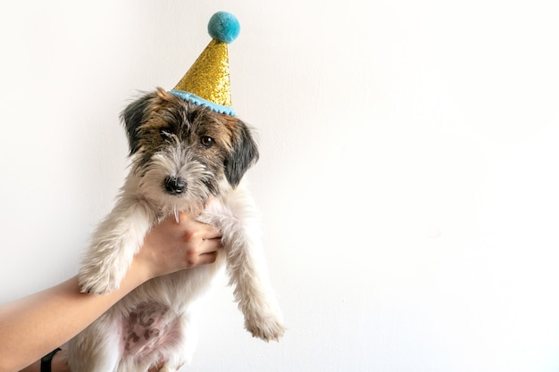 Een schattig jack russell terrier gebroken puppy is in een feestelijke hoed op een witte achtergrond.
