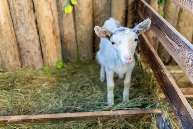 Een schattig kind zonder hoorns staat en kijkt naar de camera. vee voeren. het concept van het beschermen van dieren tegen geweld, vegetarisch eten, humanisme