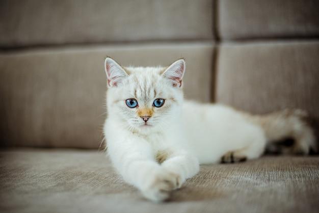 Een schattig lichtgrijs brits katje met blauwe ogen ligt op een grijze bank.