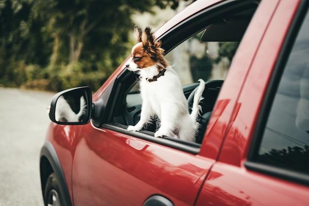 Een schattig wit en rood papillonpuppy staat in de auto en kijkt uit het raam