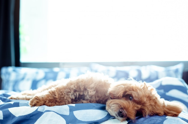Een schattige bruine poedelhond die met zich na omhoog in de ochtend ontspant