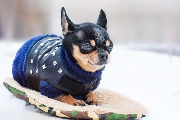 Een schattige chihuahua in de sneeuw met een gebreide trui op een koude winterdag. chihuahua-hond in de winter