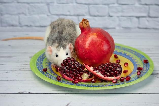 Een schattige decoratieve zwart-witte rat zit en eet een rijpe, sappige rode granaatappelfruit. close-up van een knaagdier op een gele plaat.