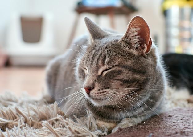 Een schattige grijze kat liggend op het tapijt in een kamer met gesloten ogen