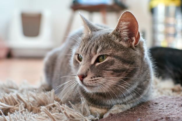 Een schattige grijze kat liggend op het tapijt in een kamer