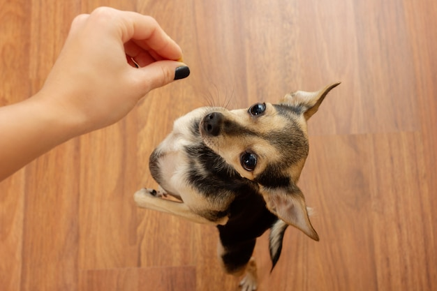 Een schattige hond die terriër om voedsel vraagt. hongerige huisdier en hand met voedsel.