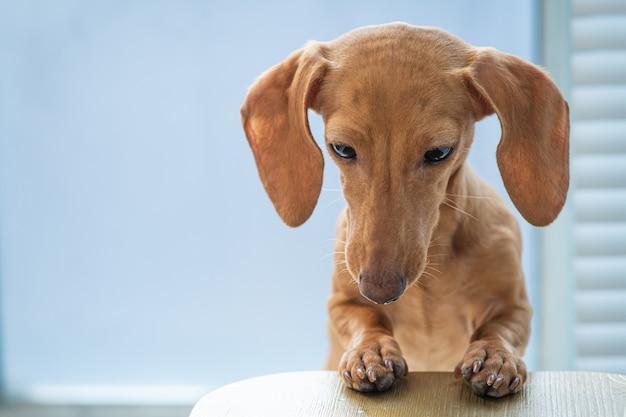 Een schattige hond leunt tegen de tafel en kijkt naar beneden