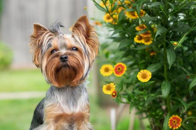 Een schattige hond zit op een bankje in de tuin. yorkshire terriër. detailopname