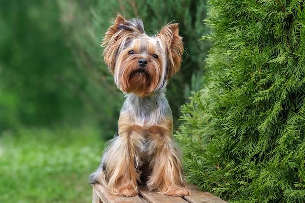 Een schattige hond zit op een bankje in de tuin. yorkshire terriër