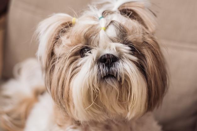 Een schattige kleine hond shi tzu zit binnenshuis op een stoel. grappige puppy shih tsu is thuis