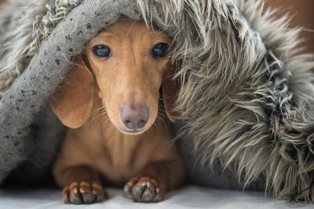 Een schattige kleine puppy draagt een deken