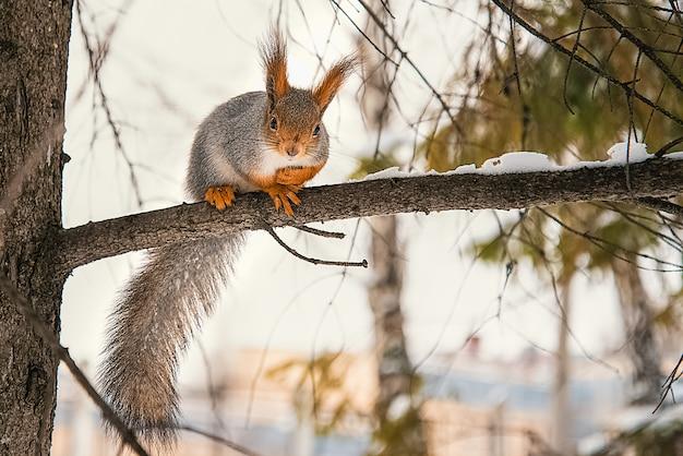 Een schattige kleine rode eekhoorn zit in de winter op een boomtak.