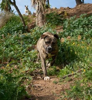 Een schattige, krachtige cimarron uruguayo (perro cimarron uruguayo) hond die in de natuur loopt