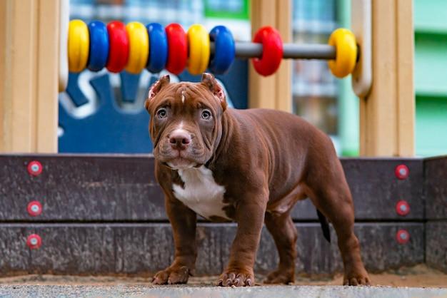 Een schattige puppy stond op in de speeltuin, een grappig klein huisdier van de amerikaanse bullebak, kameraadvriend...