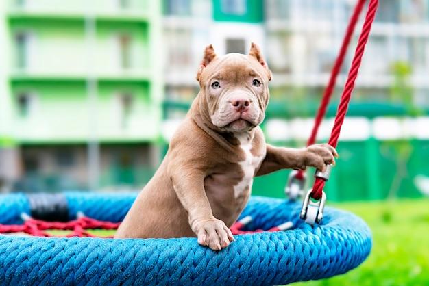 Een schattige puppy zit op een schommel in de speeltuin een grappig hondje van de amerikaanse bullebak, kameraad...