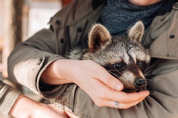 Een schattige wasbeer zit in de armen van een meisje. het dier kijkt behoedzaam in de verte. pluizige mannelijke wasbeer. een getemd zoogdier op een kinderboerderij. selectieve focus