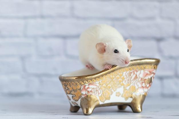 Een schattige witte decoratieve rat neemt een bad. netheid en hygiëne.