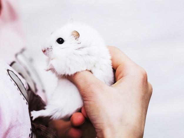 Een schattige witte hamster in de handen van een meisje