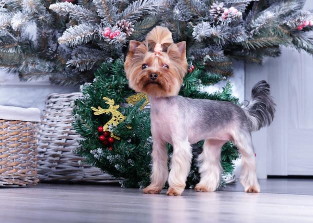 Een schattige yorkshire terrier voor een kerstboom