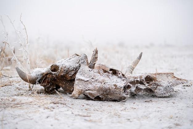 Een schedel en botten van de dode koe en stier dierlijke abstracte enge angst en horror concept winterseizoen