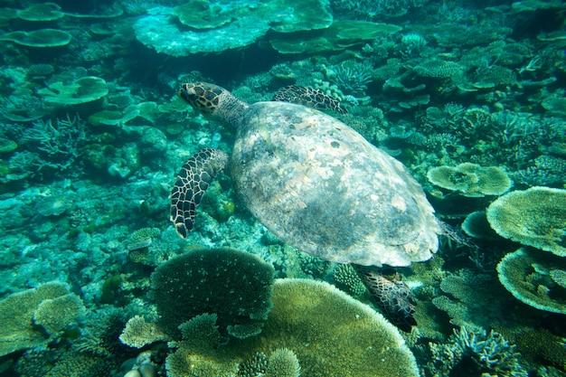 Een schildpad die bij koralen onder wateroppervlak zit