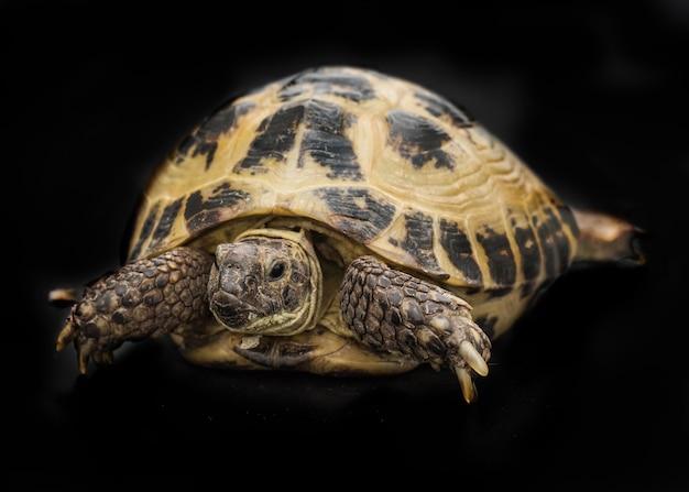 Een schildpad geïsoleerd op zwart