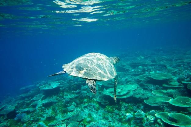 Een schildpad zit aan koralen onder wateroppervlak