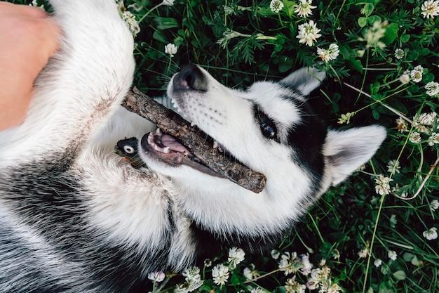 Een schor puppy knaagt aan een stok stoeit op het gazon met witte klaverbloemen.