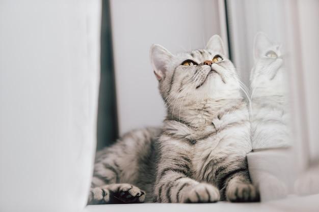 Een schotse of britse kat met een gemarmerde zwart-witte kleur rust op een witte vensterbank op een zonnige dag.