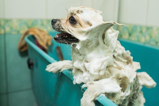 Een schuimige pommerse spits staat in de badkamer. schuim huisdier. verzorging, hygiëne