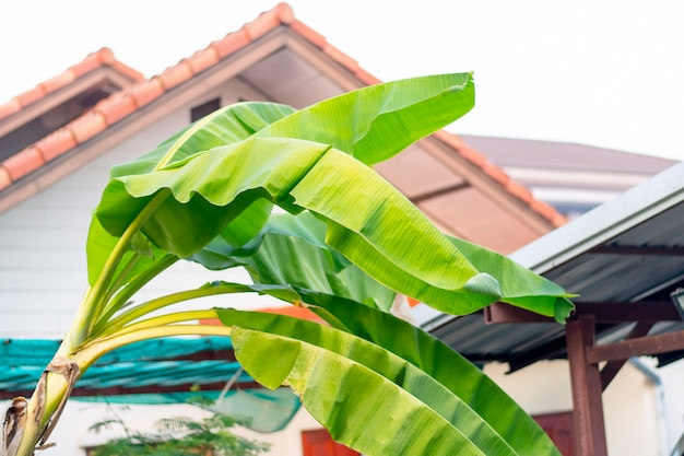 Een schuine bananenboom, met een dak op de achtergrond.