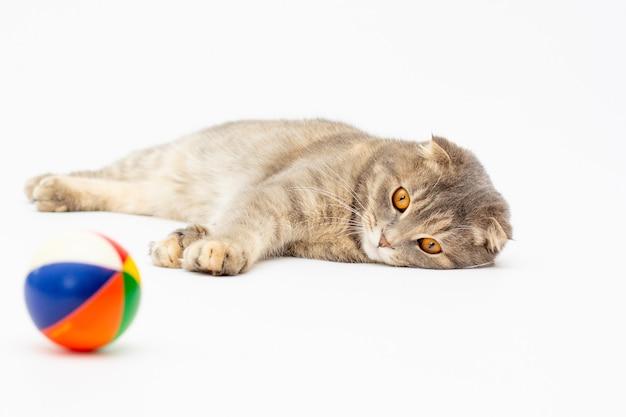 Een scottish fold jonge kat die ligt en speelt met een zachte bal. geïsoleerd op wit.