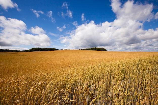 Een selskokhozyaytsvenny veld waarop geoogst. zomer van het jaar.