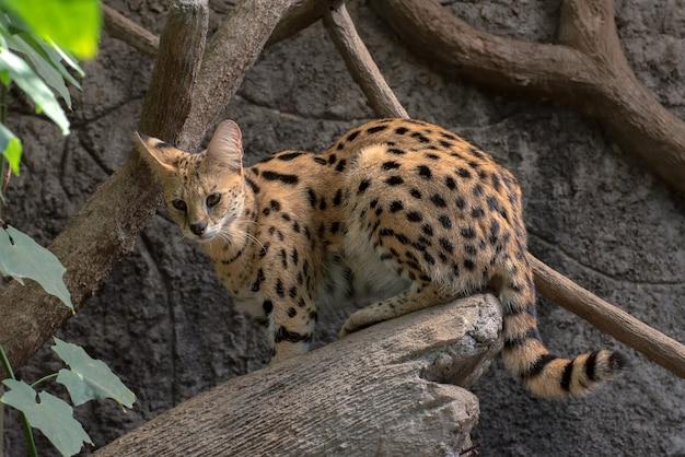 Een serval kat klimt uit een boomstam