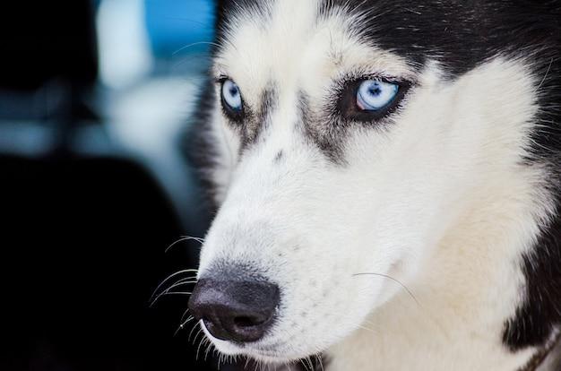 Een siberische husky hond met blauwe ogen kijkt rond. close-up hus