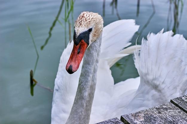 Een sierlijke witte zwaan bij een houten pier