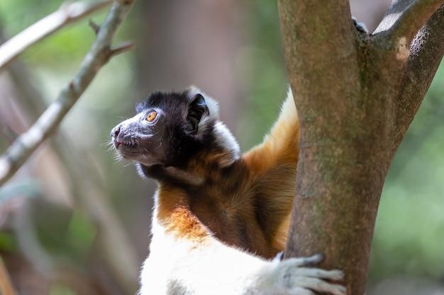 Een sifaka-maki die zich comfortabel heeft gemaakt in de boomtop