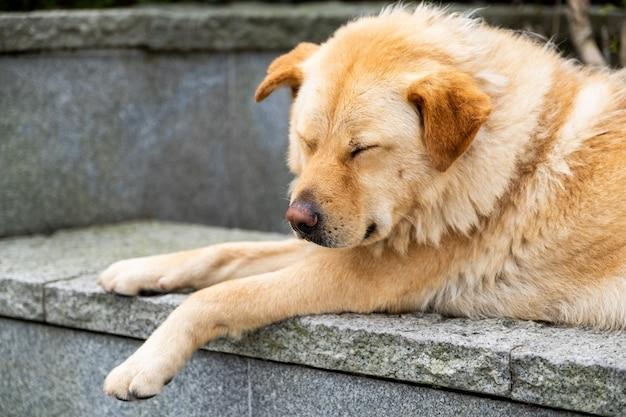 Een slapende harige bruine hond ligt op de rots en de stevige muur