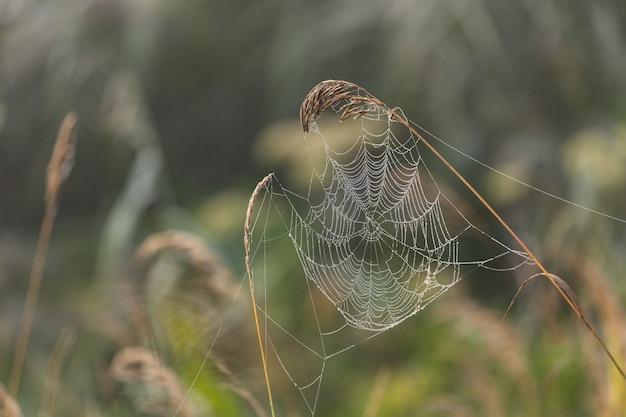 Een spinnenweb met dauwdruppels in het moeras in de ochtend bij zonsopgang. natuur.