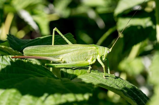 Een sprinkhaan is vermomd tussen de groene bladeren van framboos_