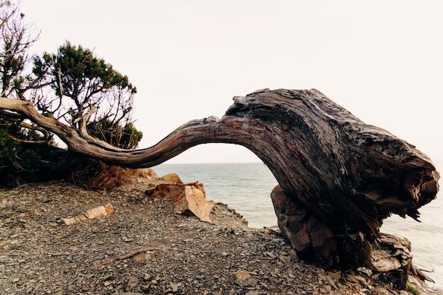 Een stam van een jeneverbesboom vervormd door windstoten met een spleet van een bijl en mensen gekrast door schors op een klif van een rots in een natuurreservaat van de zee. bescherm het milieu