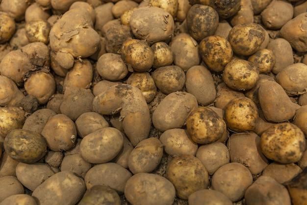 Een stapel verse vuile aardappelen in de winkel. nieuwe oogst. achtergrond. ruimte voor tekst.