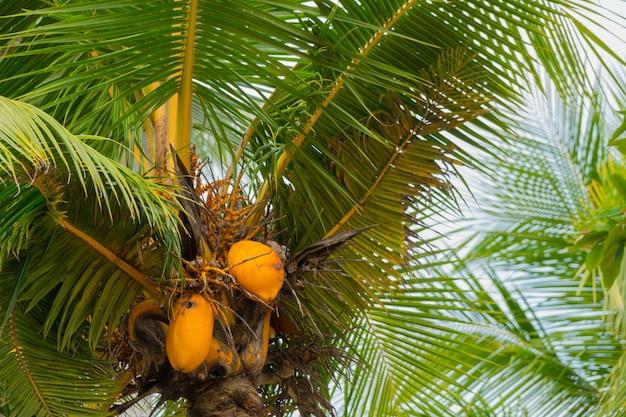 Een stelletje felgele koninklijke kokosnoten.