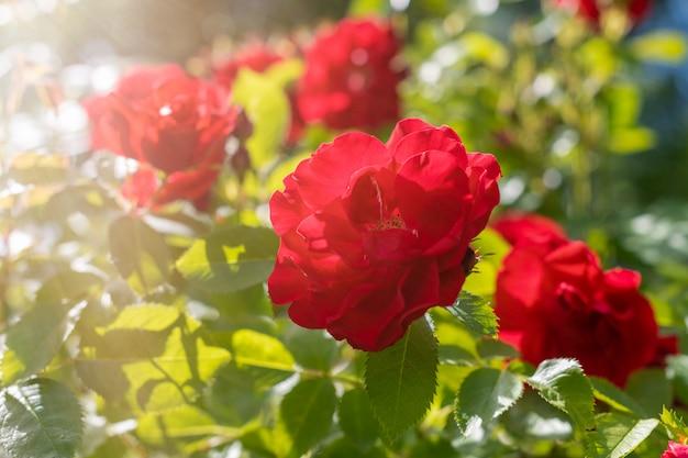 Een struik van heldere dieprode rozen in de stralen van de ondergaande zon in een zomerdorpstuin
