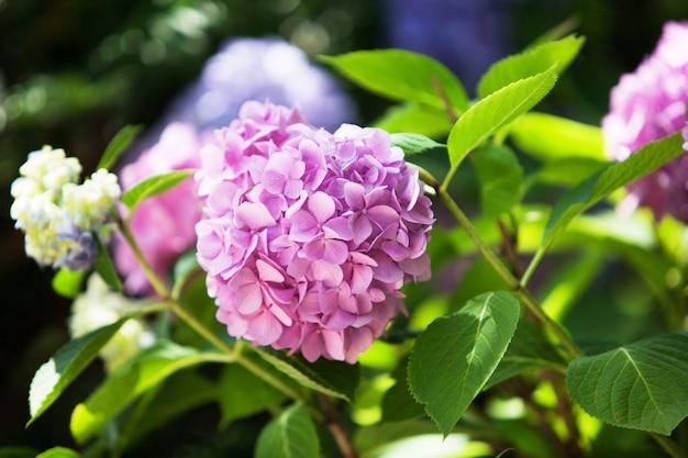 Een struik van hortensia's. mooie bloemenachtergrond. heldere zomerstemming.