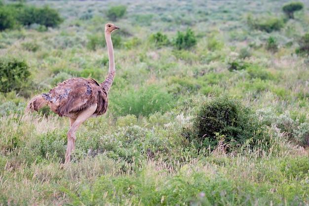 Een struisvogelwijfje staat in het gras